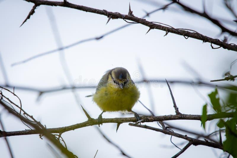 欧亚蓝冠山雀或Cyanistes caeruleus 鸟关闭欧洲yellowhammer的查出的男 库存图片