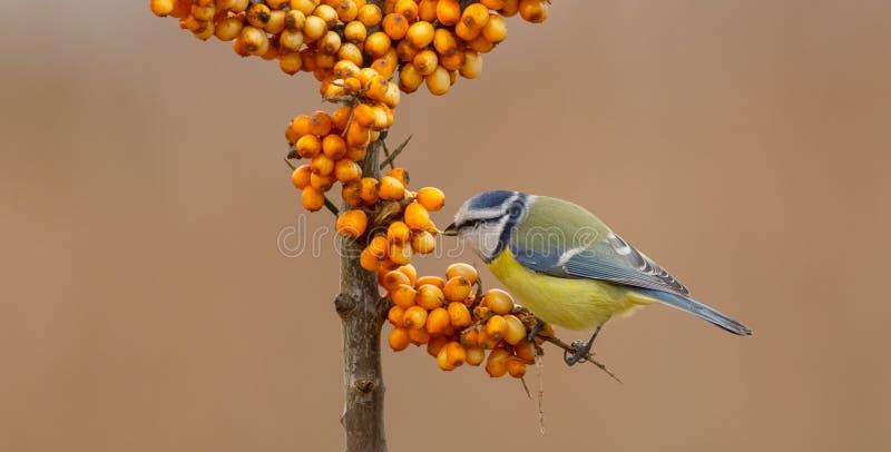 欧亚蓝冠山雀- Blaumeise -帕鲁斯caeruleus/Cyanistes caeruleus 免版税库存图片