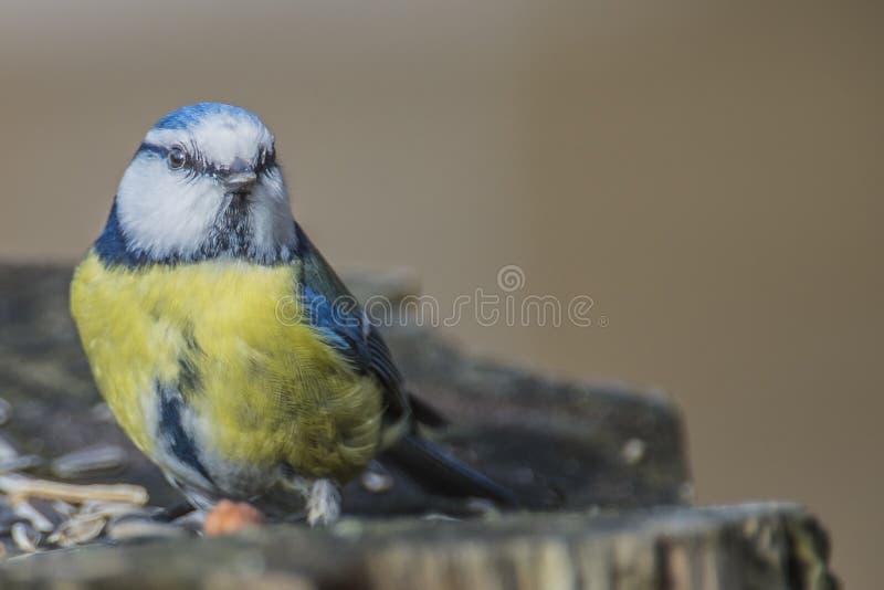 欧亚蓝冠山雀(Cyanistes caeruleus或帕鲁斯caeruleus) 免版税库存图片