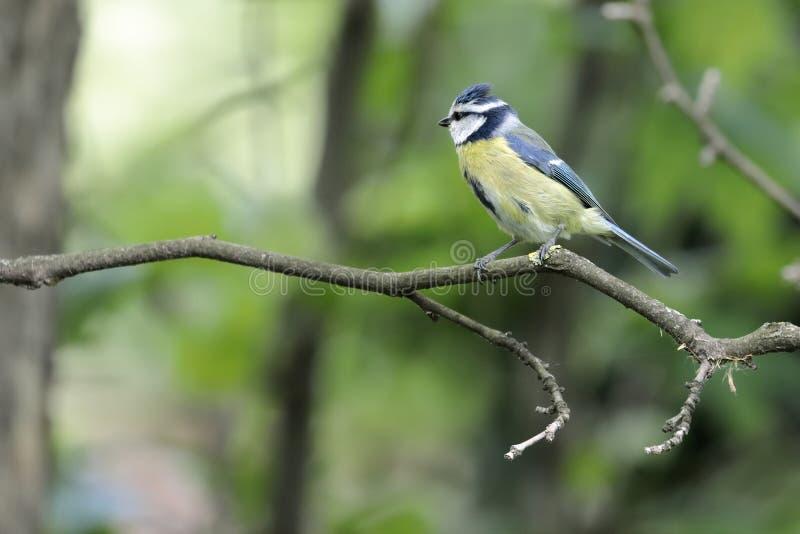欧亚蓝冠山雀cyanistes caeruleus在分支栖息 库存照片