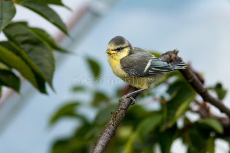 欧亚蓝冠山雀Cyanistes Caeruleus小鸡,斯洛伐克 库存照片