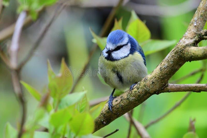 欧亚蓝冠山雀cyanistes caeruleus 图库摄影
