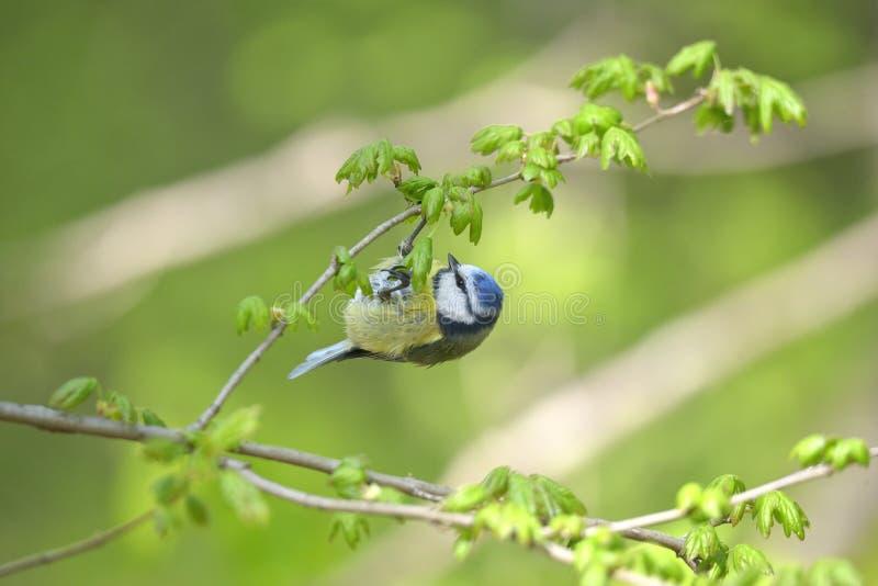 欧亚蓝冠山雀Cyanistes caeruleus 库存照片