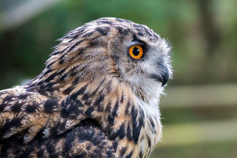 欧亚鹰鸮 库存图片