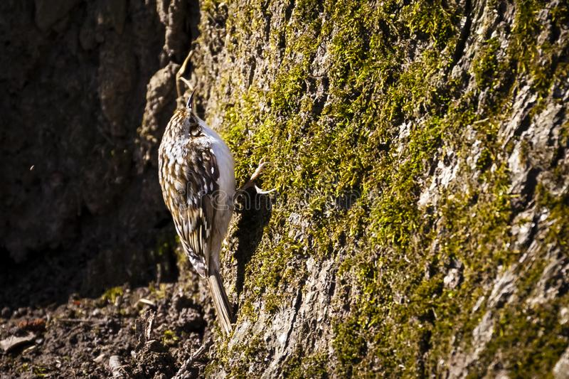 欧亚treecreeper/共同的treecreeper/Certhia familiaris 免版税图库摄影