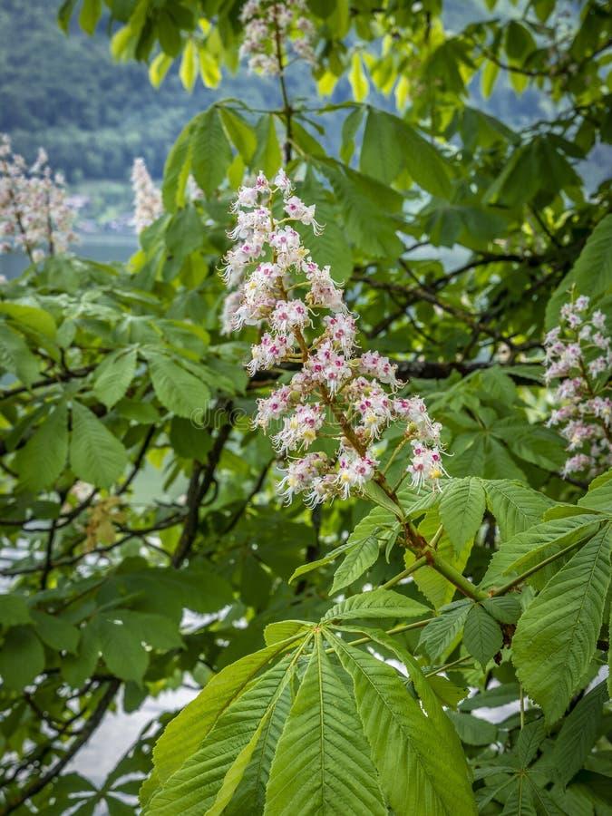欧洲七叶树的开花 免版税库存照片