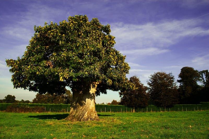 欧洲七叶树结构树 库存照片