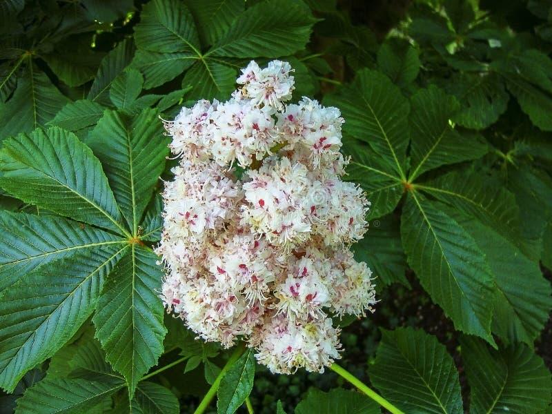 欧洲七叶树花进展的分支在春天 库存照片