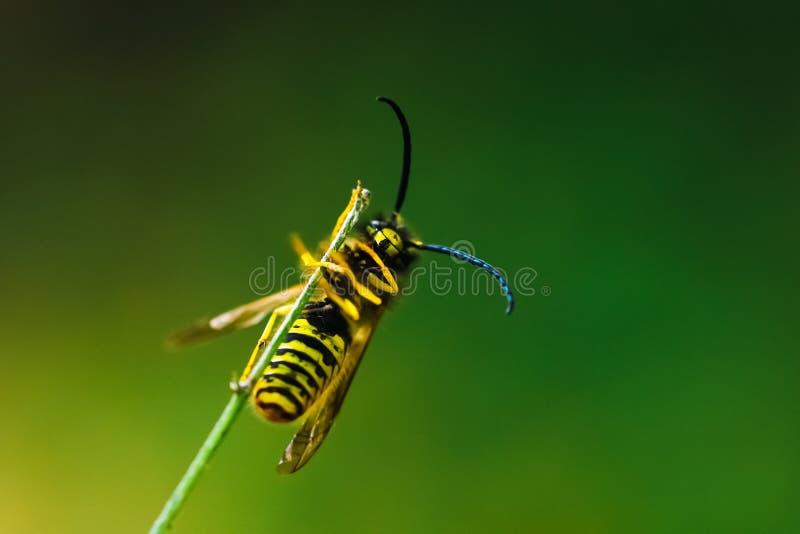 欧洲人寻常共同的黄蜂的群居黄蜂 免版税库存照片