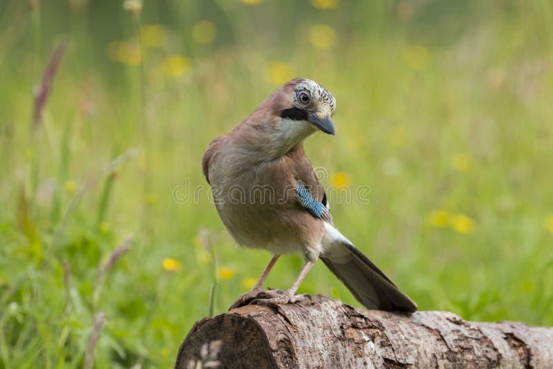 欧洲人杰伊Garrulus glandarius鸟 免版税图库摄影