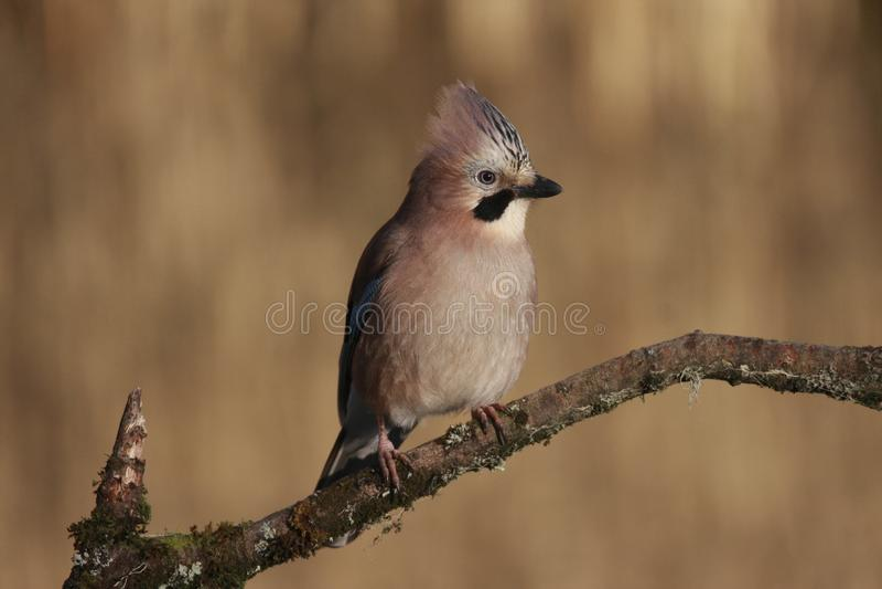 欧洲人杰伊Garrulus glandarius鸟 库存图片