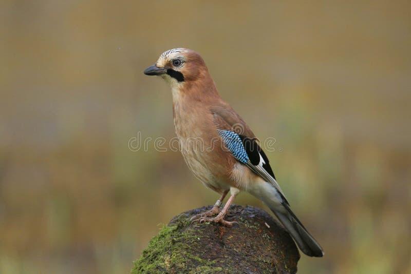 欧洲人杰伊Garrulus glandarius鸟 免版税库存照片