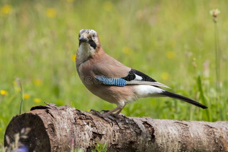 欧洲人杰伊Garrulus glandarius鸟 免版税库存图片