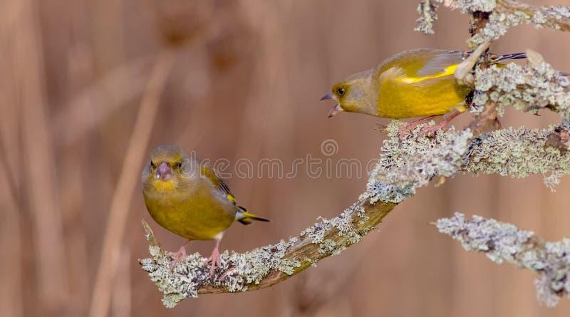 欧洲人Greenfinch -虎尾草属虎尾草属 库存图片
