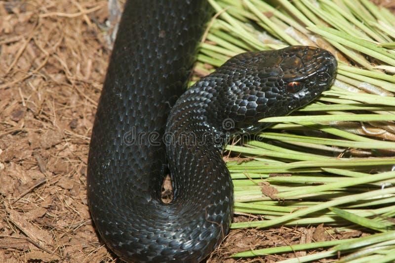 欧洲加法器蛇蝎 免版税库存照片