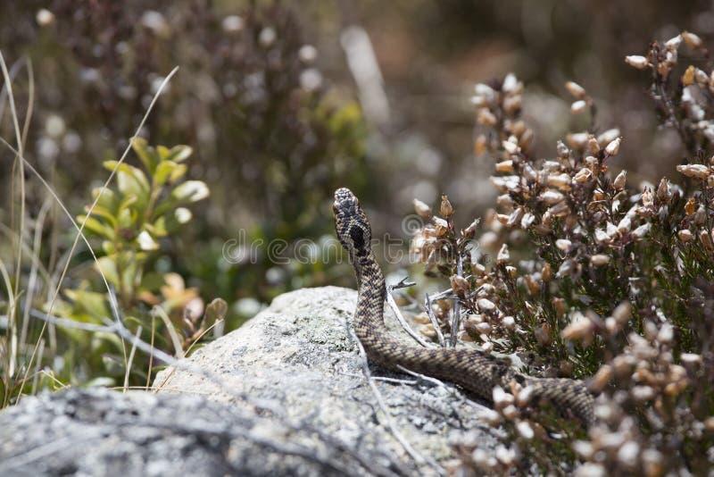 欧洲加法器,蛇蝎,蝰蛇属berus 设置反对岩石和石南花 库存照片