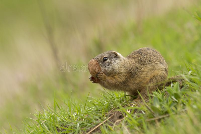 欧洲地松鼠地面松鼠类黄鼠属 免版税库存照片