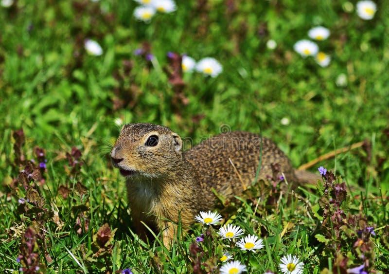 欧洲地松鼠-地面松鼠类黄鼠属 免版税库存照片