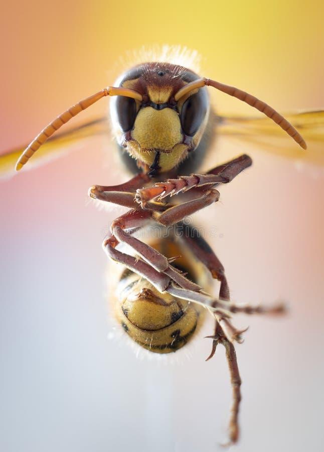 欧洲大黄蜂的特写镜头照片 免版税库存照片