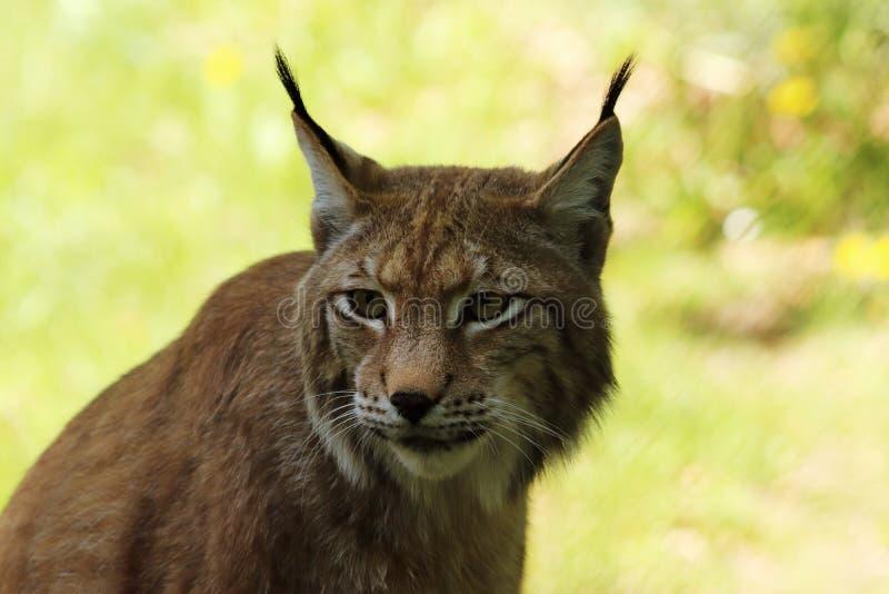 欧洲天猫座,第三大掠食性动物的画象在欧洲 免版税图库摄影