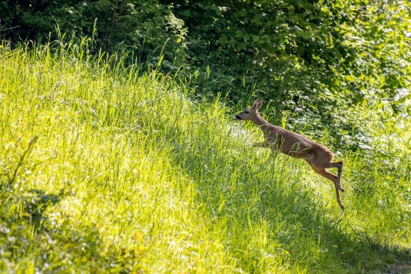 欧洲女子罗鹿在草场上跑 免版税库存照片
