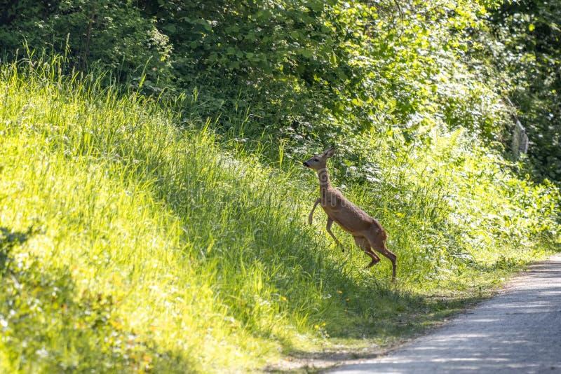 欧洲女子罗鹿在草场上跑 库存照片