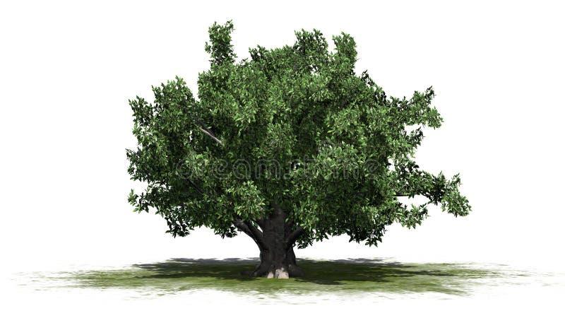 欧洲山毛榉树 库存例证