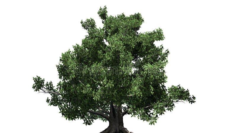 欧洲山毛榉树 向量例证