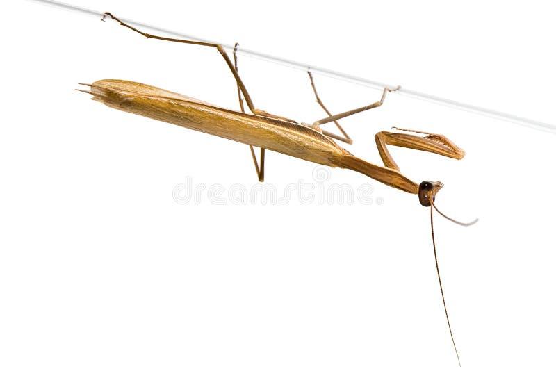 欧洲捕鱼停止的螳螂 库存图片
