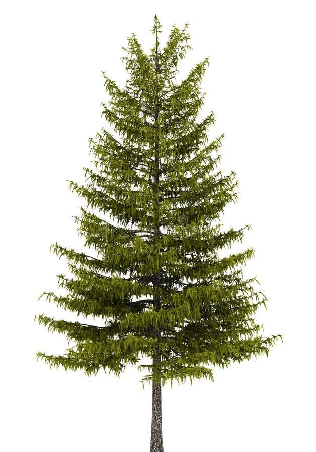 欧洲查出的落叶松属树白色 库存例证
