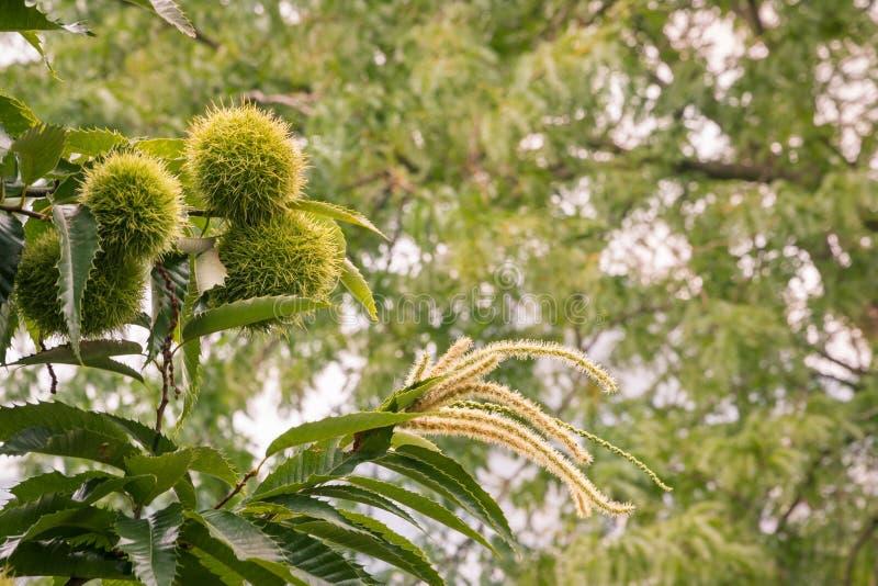 欧洲栗木和花在生长在栗树的果壳 库存图片