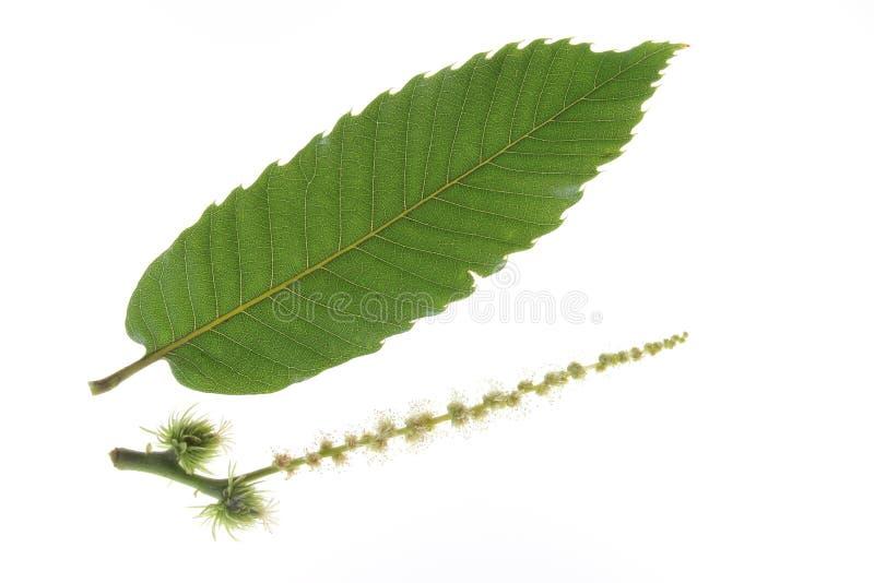 欧洲栗木-漂白亚麻纤维的栗属 免版税库存照片