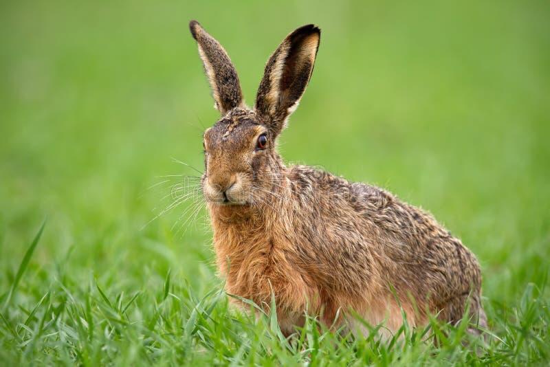 欧洲棕色野兔,天兔座europaeus在夏天有绿色被弄脏的背景 免版税库存图片