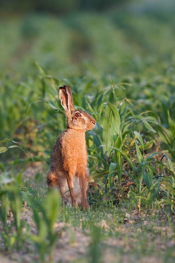 欧洲棕色野兔,天兔座europaeus 免版税库存图片