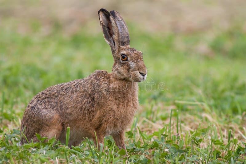 欧洲棕色野兔,天兔座europaeus 库存图片
