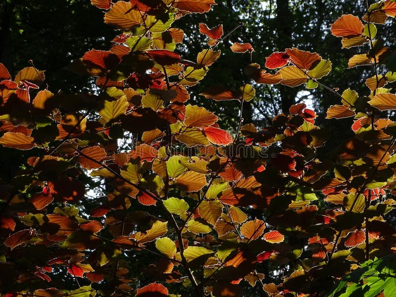 欧洲榛树榛属最大值 免版税库存图片