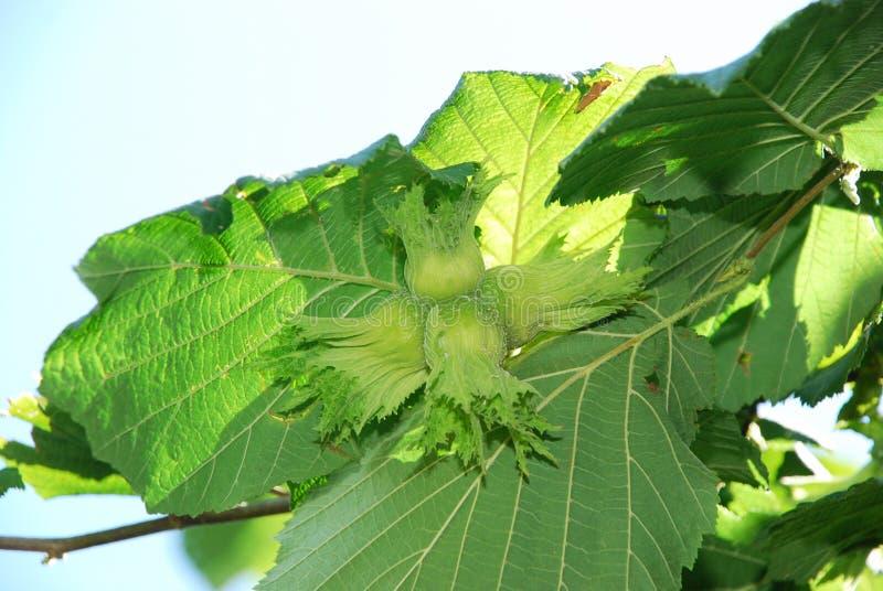 欧洲榛树生长的坚果 榛子树,准备好的榛子采摘 在树的绿色榛子 huzelnuts的Custer在tre的 库存照片