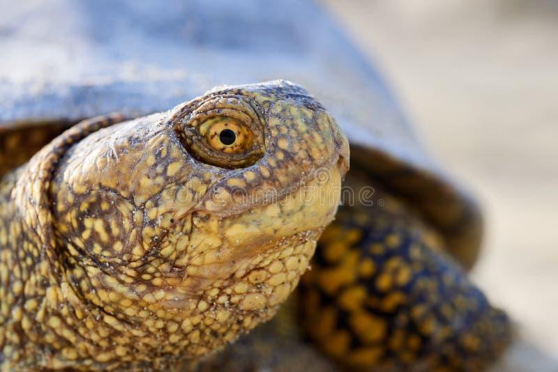 欧洲沼泽乌龟是淡水乌龟的种类从沼泽乌龟类的 在南部被找到和中欧
