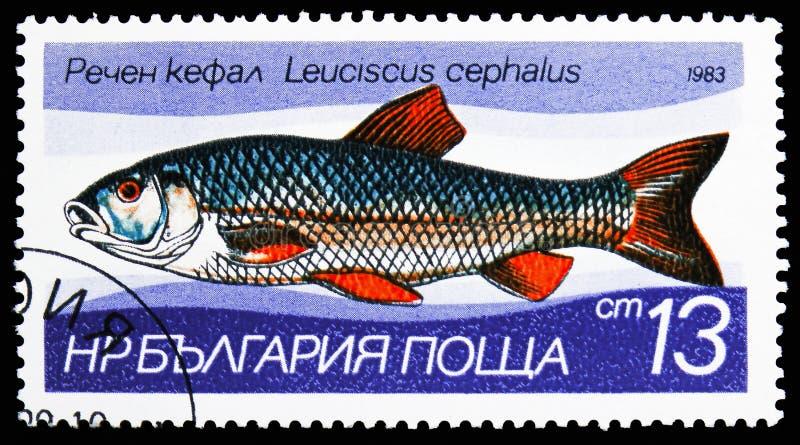 欧洲淡水鳔形鱼(雅罗鱼属cephalus),淡水鱼serie,大约1983年 免版税库存照片