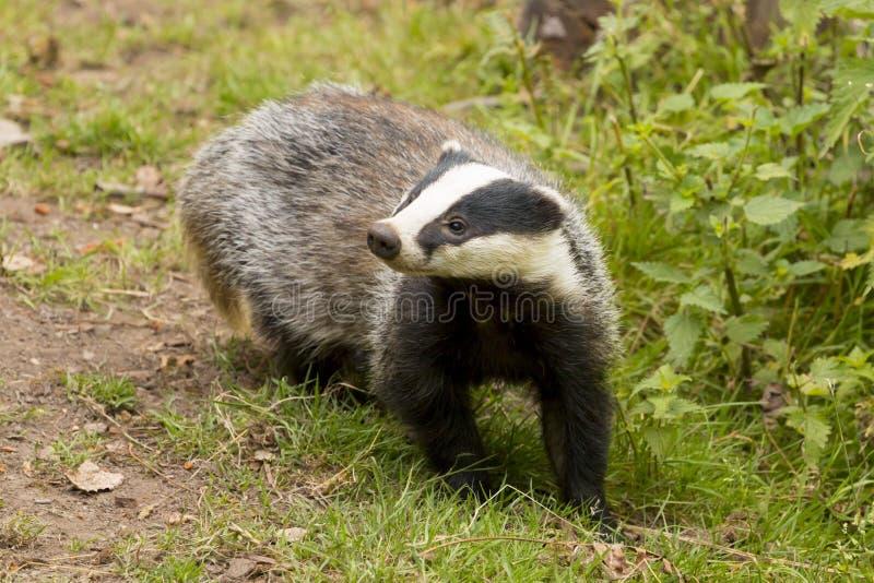 欧洲獾獾属獾属成人 库存照片