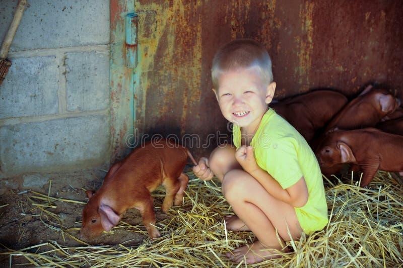 欧洲男孩使用与杜勒克猪品种红色猪  最近负担 农村猪农场 免版税库存图片