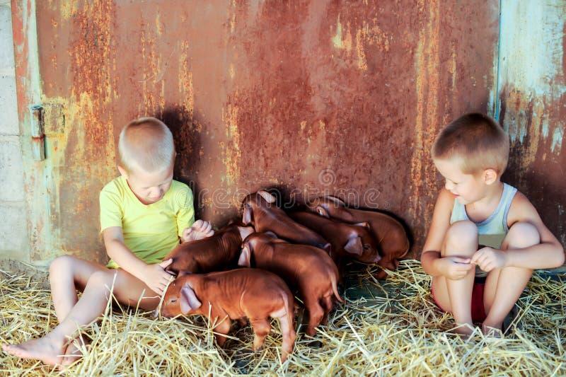 欧洲男孩使用与杜勒克猪品种红色猪  最近负担 免版税库存照片