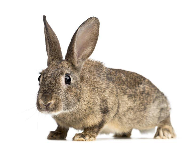 欧洲的兔子或公用兔子, 3个月 库存图片
