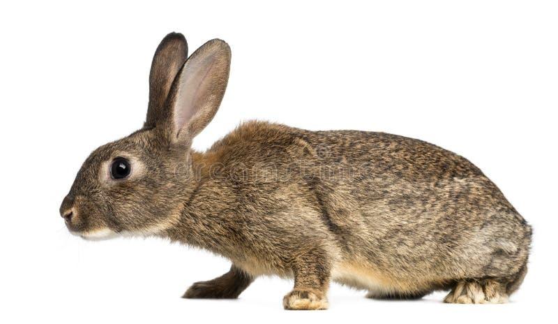 欧洲的兔子或公用兔子, 3个月 免版税库存图片