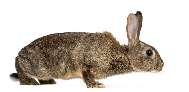 欧洲的兔子或共同性兔子, 3个月,穴兔cuni 图库摄影