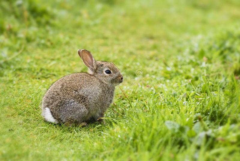 欧洲的兔子-穴兔串孔 库存图片