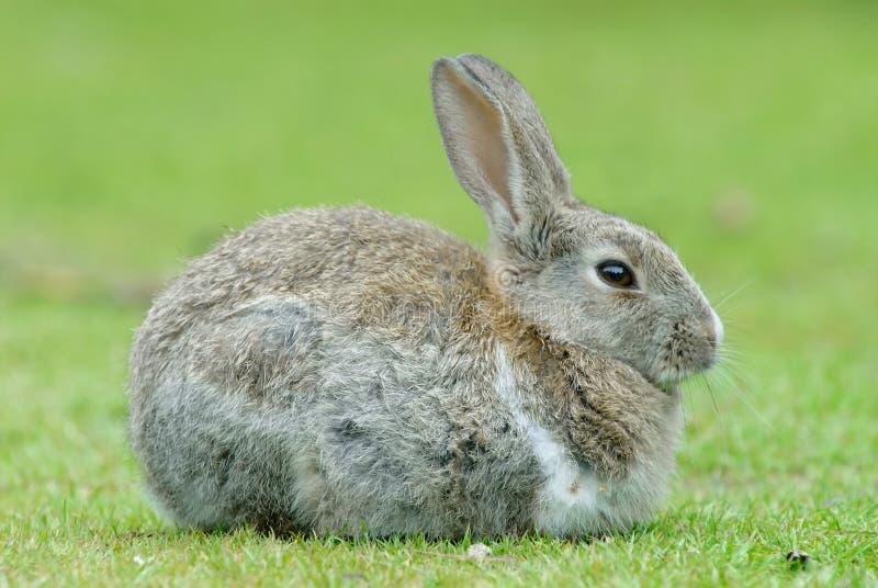欧洲的兔子 库存图片