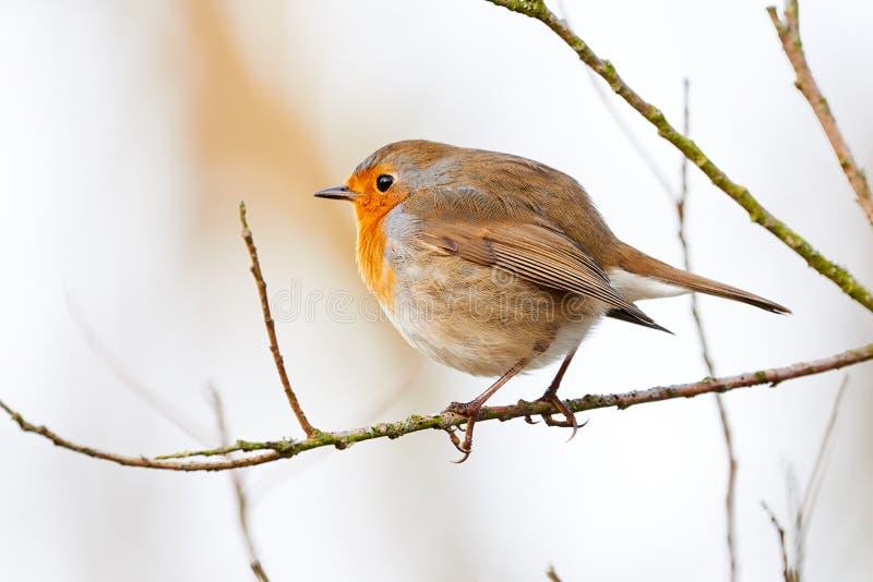 欧洲知更鸟画眉Rubecula坐分支 免版税图库摄影