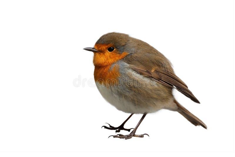 欧洲知更鸟 库存图片