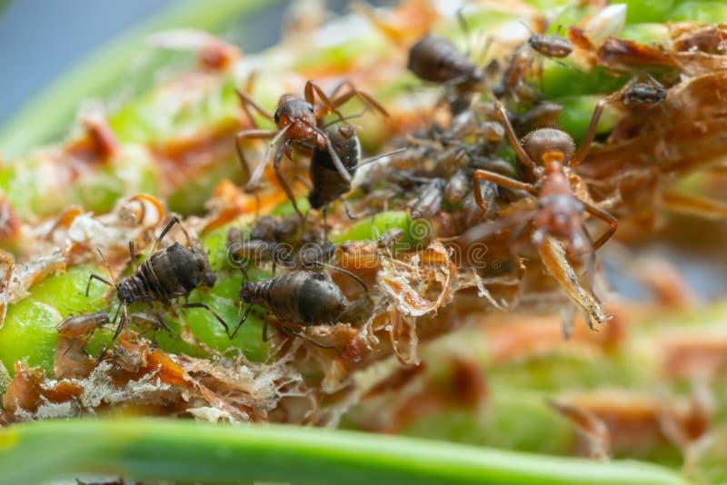 欧洲红褐林蚁,胶木守卫在杉木的蚜虫 库存照片